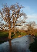 Old Oak By River At Sunset. Looking East poster