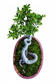 image of bonsai  - japan Bonsai design art of asia tree - JPG