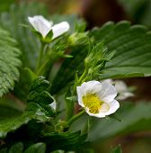 foto of strawberry plant  - Flowers of a strawberry plant - JPG