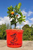 Dwarfish tree a tangerine.