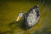 picture of black swan  - Black swan swims in the city pond  - JPG