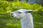 picture of lamas  - Lama resting in the shade at the Kiev Zoo