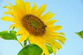 picture of sunflower  - sunflowers on a blue background flowers - JPG