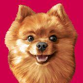 stock photo of pomeranian  - Vector Illustrative portrait of pomeranian spitz dog - JPG