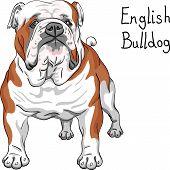 stock photo of english-mastiff  - COLOR sketch of the dog English Bulldog breed - JPG