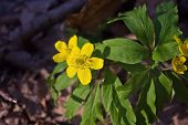 image of buttercup  - a few buttercup yellow flowers close up - JPG