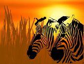 Zebra Background -  Illustration