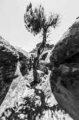 stock photo of juniper-tree  - Single Tree in the Slot Canyon Black and White Photography Utah - JPG