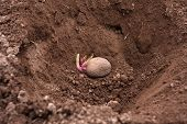 pic of germination  - planting of the germinating potato in the vegetable garden - JPG