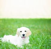 picture of golden retriever puppy  - Portrait of a lovely golden retriever puppy - JPG