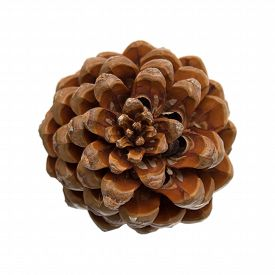 foto of pinus  - cone of stone pine Pinus pinea with some of the nuts still in isolated on white background - JPG
