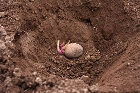 picture of germination  - planting of the germinating potato in the vegetable garden - JPG