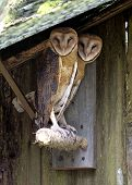 Barn_Owls_Color