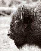 Buffalo1_Bw