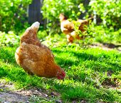 Hens walking on green rural yard