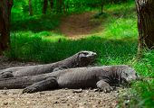 Komodo dragons lying near green grass and looking to somwhere. Rinca island. National park Komodo.