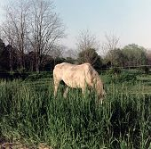 Horse Grazing In Lush Spring Grass