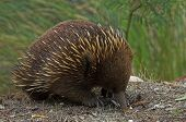 picture of ant-eater  - An Echidna  - JPG