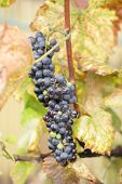 pic of grape-vine  - detail of red grapes in the autumn - JPG