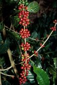 live coffee beans on the bush