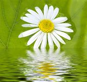 picture of chloroplast  - The camomile floats in water on a background of a green leaf - JPG