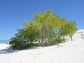 Buried Cottonwood in the white sands
