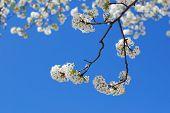 White Bradford Pear Blossoms