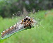 Caterpillar Of Drinker-Moth (Cyclophragma Undans Fasciatella).