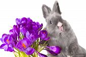 Crocus Flowers And Bunny