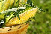 image of corn-silk  - Several corn in an apple basket - JPG