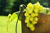 Green grapes in a wine bucket