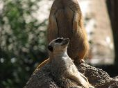 stock photo of pack-rat  - this meerkat appears to be resting while the other is on lookout - JPG
