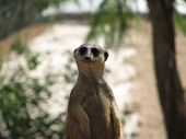 stock photo of pack-rat  - this meerkat appeared to be smiling at the camera - JPG