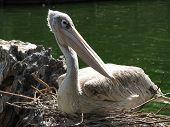 Pelican Resting