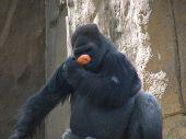 Gorilla And His Orange