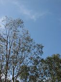 Eucalyptus In The Sky