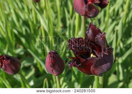 Dark Red Burgundy Tulip Flower