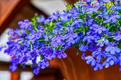 Blue Violet Lobelia Erinus Sapphire Flowers A Popular Edging Plant In Gardens For Hanging Baskets An poster