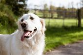 Purebred White Golden Retriever Siting Down In The Middle Of A Country Road poster
