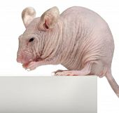 Hairless House mouse, Mus musculus, 3 months old, sitting on box in front of white background