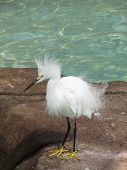 Snowy Egret Bird Standing Beside A Pool Of Water. poster