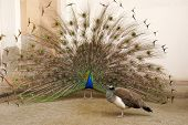 image of peahen  - photo of Male peacock tail spread tail - JPG