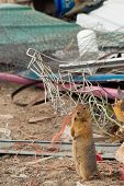 Groundsquirrel on Junkyard