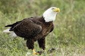Bald Eagle With His Lunch