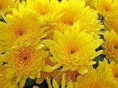 image of yellow flower  - yellow  flowers - JPG