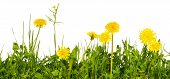 Meadow Grass With Yellow Dandelion Flowers Isolated On White Background poster