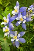 stock photo of columbine  - Columbines found in the mountains of Colorado - JPG