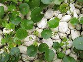 Herbario de tigre y blanco rocas