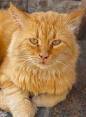 gato de gengibre