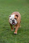 English Bulldog, Walking Towards The Camera